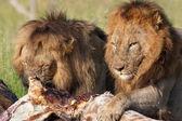 Dva lvi (panthera leo) v savannah
