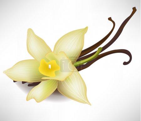 Illustration pour Fleur de vanille réaliste et bâtons - image libre de droit