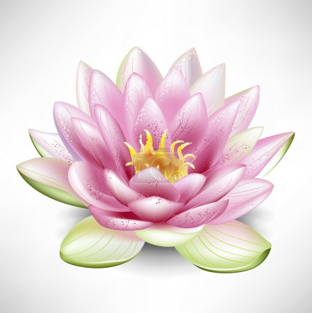 Single blossoming lotus flower