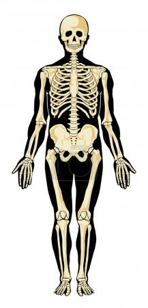 Human anatomy. Skeleton