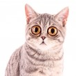Young funny surprised cat closeup isolated on whit...