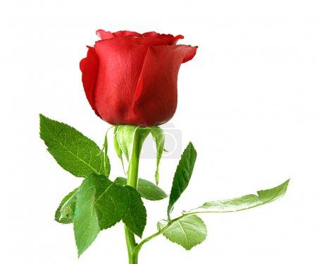 Photo pour Rose rouge en gros plan isolé sur blanc - image libre de droit