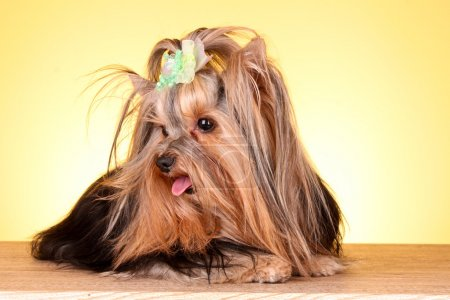 Yorkshire Terrier puppy on yellow background