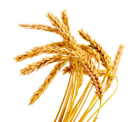 Photo for Wheat isolated on white - Royalty Free Image