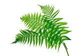 """Постер, картина, фотообои """"Три зеленые листья папоротника, изолированные на белом фоне"""""""
