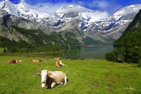 Photo pour Beau paysage alpin avec troupeau de vaches près du lac avec des montagnes à l'arrière recouvertes de neige - image libre de droit