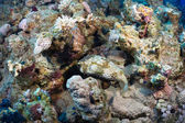 Spotbase burrfish