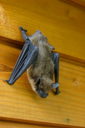 Bat is hanging on a wall