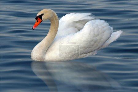 Photo pour Cygne blanc avec réflexion sur l'eau - image libre de droit