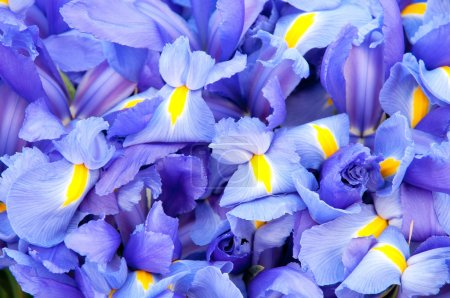 Blue iris background