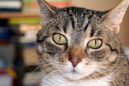 Photo pour Gros plan d'un chat tigré avec des yeux larges. - image libre de droit