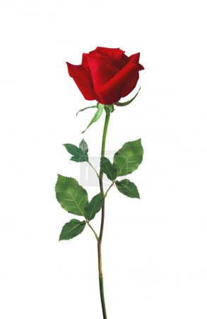 Photo pour Rose belle rouge isolé sur blanc - image libre de droit