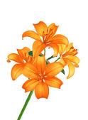 """Постер, картина, фотообои """"красивые оранжевые цветы лилии, изолированные на белом"""""""