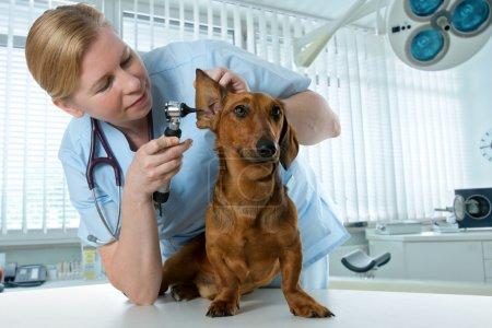 Photo pour Médecin vétérinaire faire le bilan d'un teckel - image libre de droit
