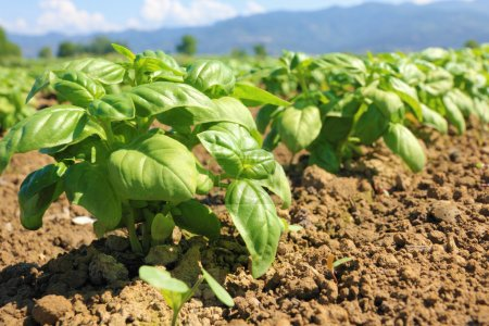 Photo for Femal farmer hands and basil plant - Royalty Free Image