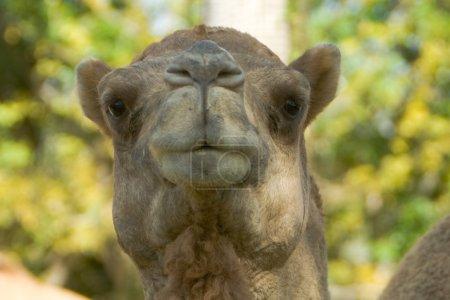 Closeup headshot of an Arabian Camen Dromedary...
