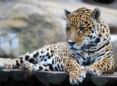 Photo pour Portrait léopard - image libre de droit