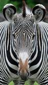 Vedoucí Zebra v zeleném poli