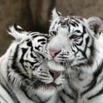 White tigers...