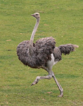 An ostrich running across a meadow...