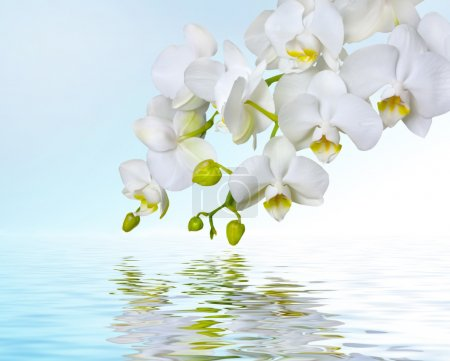 Photo for Beautiful white orchid flower phalaenopsis reflected in water with copyspace - Royalty Free Image