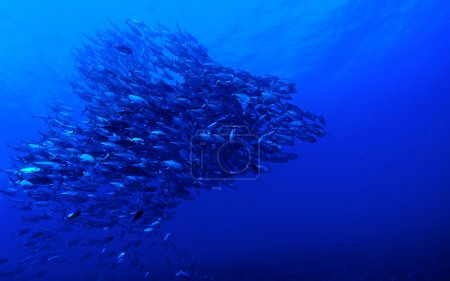 School of Bigeye jack fish (Caranx sexfasciatus)