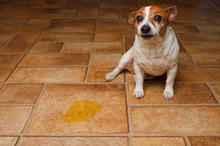 Dog Pee Sad