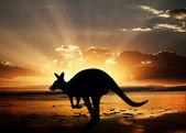 Känguru am sonnenuntergang