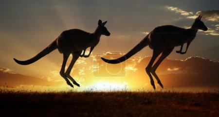 Photo for Kangaroo on the sunset - Royalty Free Image