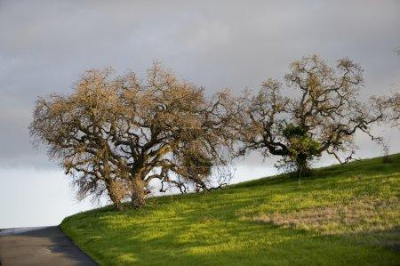 Photo pour Sentier plat à l'Université de stanford au printemps, chêne deux arbres sont baignées de soleil de début de soirée. le sentier peut été vu à l'extrême gauche avec un brillant fiel herbeux - image libre de droit