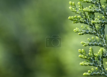 Photo for Thuja background with copy space - Royalty Free Image