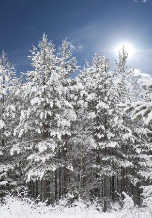 Photo pour Forêt avec pins couverts de neige avec ciel bleu - image libre de droit