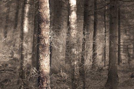 Photo pour Conifères et bouleaux de spooky forest witjh - image libre de droit