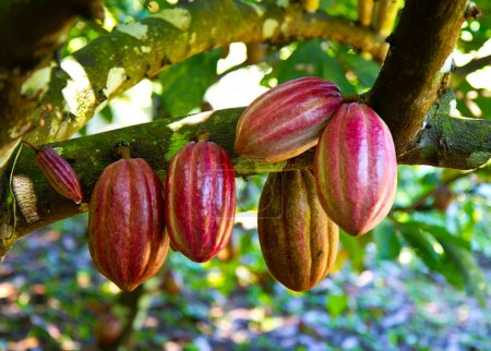 frischer Kakao