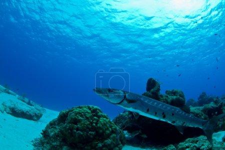 Photo pour Un énorme Barracuda utilise le récif pour cacher son corps mince alors qu'il attend que des proies sans méfiance se rapprochent au Mexique . - image libre de droit