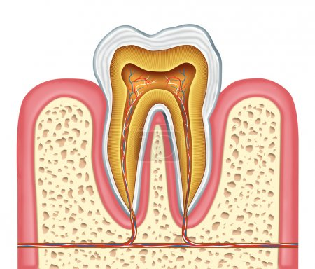 Anatomy of a healthy human tooth