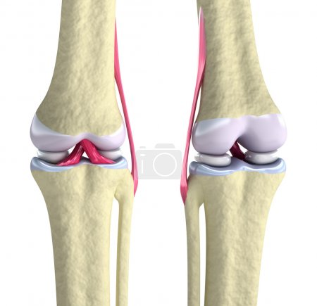 Knee joint with ligaments and cartilages isolated ...