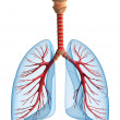 Lungs - pulmonary system. Front view, isolated on ...