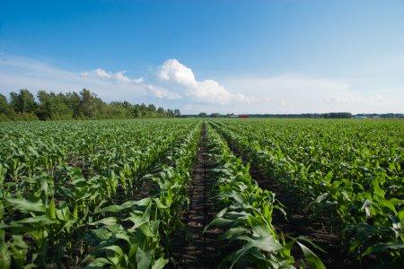 Filas de maíz