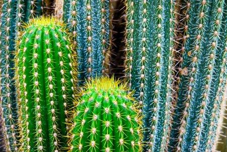Photo pour Tropical vert cactus - cactus - image libre de droit