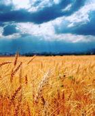 Wheat ready for harvest growing in a farm field under blue sky