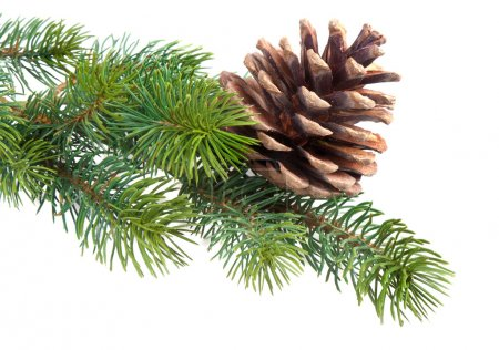 Fir branch with pine cone isolated on white