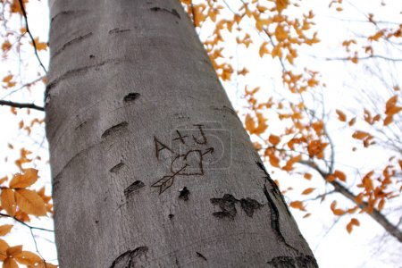 Photo for Initials are carved in a tree with a heart around them. Autumn leaves are in the background. - Royalty Free Image