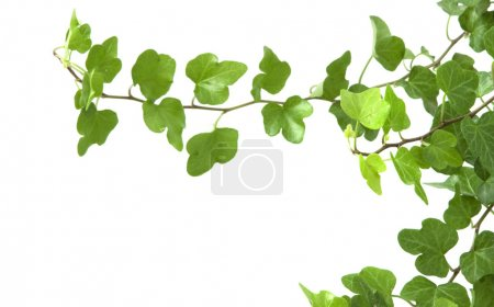 Branch is ivy on a white background
