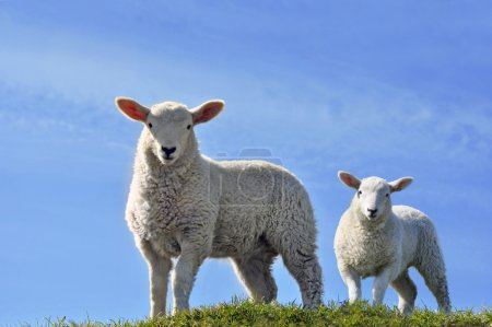 Two Cute Curious Lambs Looking at the Camera in Spring