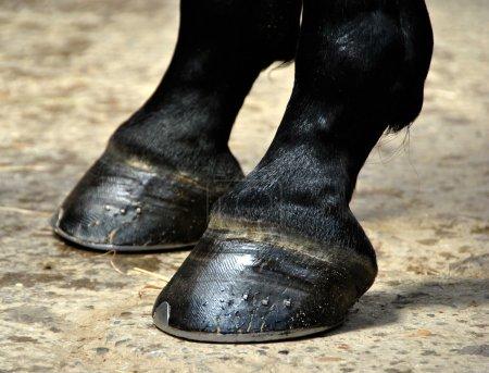 Horse Hoof - Hooves