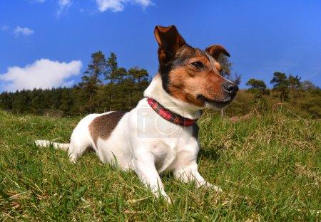 Photo pour Jack Russell Terrier Allongé dans l'herbe par une journée ensoleillée regardant ailleurs - image libre de droit