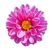 Pink Dahlia Flower Isolated on White