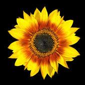 Fresh Yellow Sunflower Petals Closeup Isolated on Black