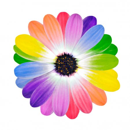 Photo for Rainbow Daisy Flower. Multi Colored Petals of Isolated on White Background. Full Spectrum of Colors - Royalty Free Image